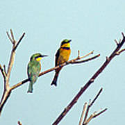 Little Bee-eaters Art Print