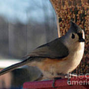 Little Gray Crested Titmouse Bird Ready For Lunch Art Print