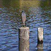 Little Blue Heron - Egretta Caerulea  Art Print