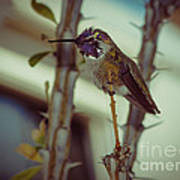Little Costa's Hummingbird Art Print