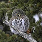 Little One - Northern Pygmy Owl Art Print