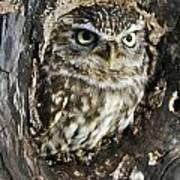 Little Owl 6 Art Print