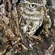 Little Owl In Hollow Tree Art Print