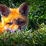 Little Red Fox Art Print by Bob Orsillo