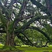 Live Oak Trees Art Print