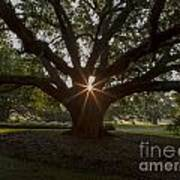 Live Oak With Early Morning Light Art Print