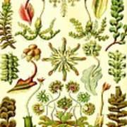 Liverworts Moss Brunnenlebermoos Haeckel Hepaticae Art Print