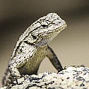 Lizard On The Rocks Art Print