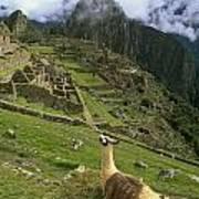 Llama At Machu Picchu Art Print
