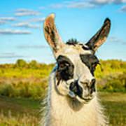 Llama Portrait Art Print