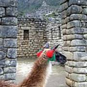 Llama Touring Machu Picchu Art Print