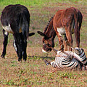 Lmao  Mules And Zebra - Featured In Wildlife Group Art Print