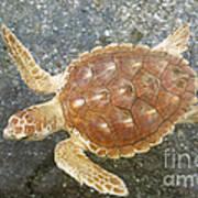 Loggerhead Turtle Art Print