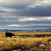 Lone Cow Against A Stormy Montana Sky. Art Print