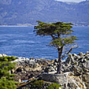 Lone Cypress Tree Art Print