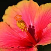 Lone Hibiscus Art Print