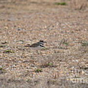 Lone Killdeer Art Print