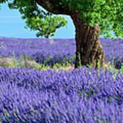 Lone Tree In Lavender Art Print