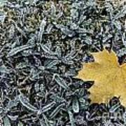 Lonely Maple Leaf And Grass Are Covered With Frost. Art Print