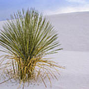 Lonely Yucca Plant In White Sands Art Print