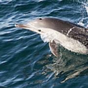 Long-beaked Common Dolphin Porpoising Art Print