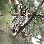 Long Eared Owl At Attention Art Print