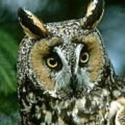 Long-eared Owl Up Close Art Print