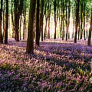Long Shadows In Bluebell Woods Art Print
