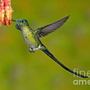 Long-tailed Sylph Art Print