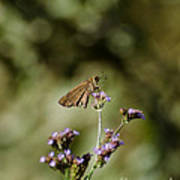 Long-winged Skipper Butterfly Art Print
