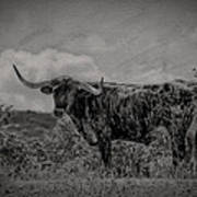 Longhorn Of Bandera Art Print