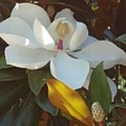 Longue Vue Magnolia Art Print by Katie Spicuzza