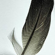 Loon Feather Art Print