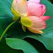 Lotus Blossom And Leaves Art Print