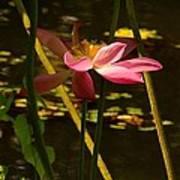Lotus Flower At The West Lake Art Print