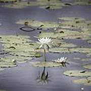 Lotus Flower- Gungarre Billabong V3 Art Print