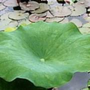 Lotus Leaf Art Print
