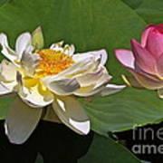 Lotus Pink -- Lotus White And Gold Art Print