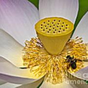 Lotus Pollinator Art Print