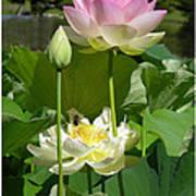 Lotuses in Bloom Art Print