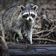 Louisiana Raccoon II Art Print