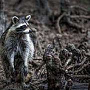 Louisiana Raccoon Art Print