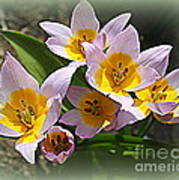 Lovely In White And Yellow - Tulips Art Print