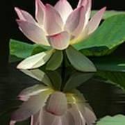 Lovely Lotus Reflection Art Print