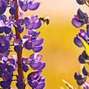 Lovely Lupins And Busy Bee Art Print