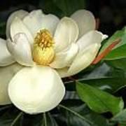 Lovely Magnolia Art Print