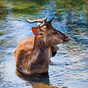Lovely Time In Water.  Male Deer In The Pampelmousse Botanical Garden. Mauritius Art Print by Jenny Rainbow