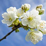 Lovely White Apple Blossoms On Branch Art Print