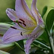 Loving Lilies Art Print