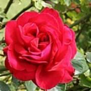 Lovely Red Rose Art Print
